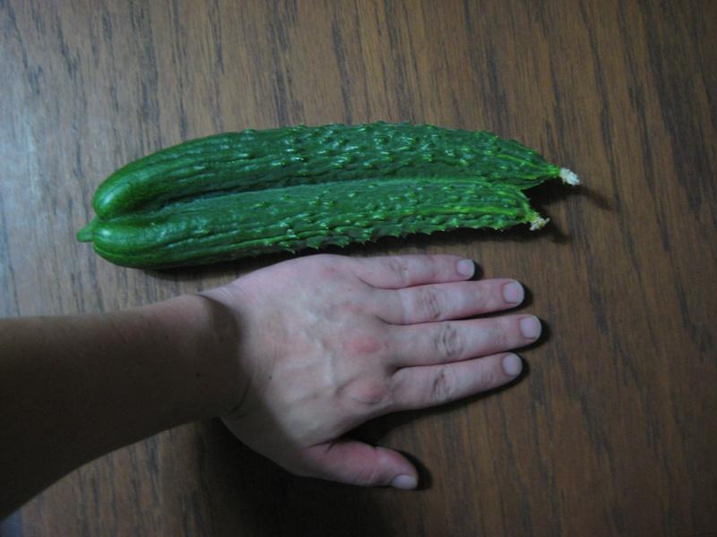 きゅうりの初収穫。